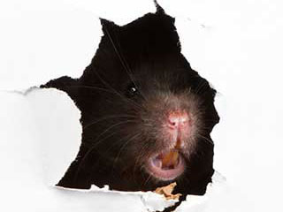 Rodent Proofing Services | Attic Cleaning Laguna Beach, CA